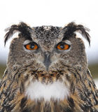 Owl portrait Royalty Free Stock Photography