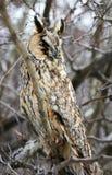 Owl portrait Stock Photography