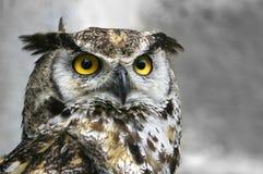 Owl portrait. Royalty Free Stock Photos