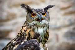 The Owl  -  portrait. Stock Image