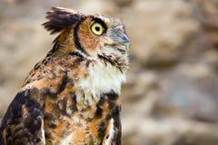 The Owl  -  portrait. Stock Photos