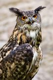 The Owl  -  portrait. Royalty Free Stock Photo