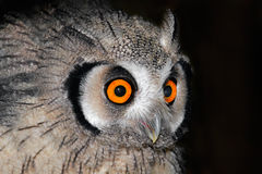 Owl portrait Stock Image