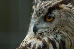 owl portrait Στοκ εικόνα με δικαίωμα ελεύθερης χρήσης