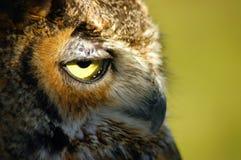 Owl Portrait. Side shot of an owl portrait Stock Photos