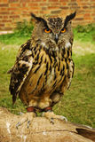 Owl portrait. A handsome owl poses patiently for a portrait stock image