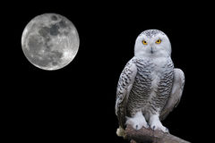 Free Owl Portrait Royalty Free Stock Images - 84143829