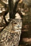 Owl portrait beautiful animal Stock Photography