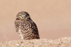 Owl portrait. Burrowing Owl posing for a portrait Stock Photography
