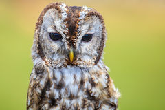 Owl portrait Royalty Free Stock Images