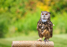 Owl portrait Stock Photography