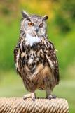 Owl portrait Stock Images