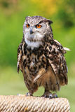 Owl portrait. Close up shot of owl portrait Royalty Free Stock Photos