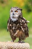 Owl portrait Royalty Free Stock Photos