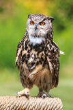 Owl portrait. Close up shot of owl portrait Royalty Free Stock Image