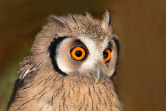 Owl portrait Royalty Free Stock Photos