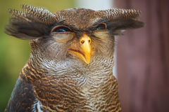 Owl portrait close up of yellow eyes Royalty Free Stock Photography