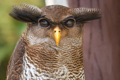 Owl portrait close up of yellow eyes Stock Photography