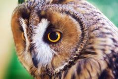Owl portrait. Stock Image