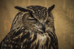 Owl portrait, golden owl, wildlife concept Stock Photos