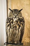 Owl portrait, golden owl, wildlife concept Stock Photo