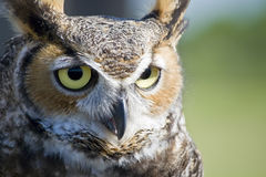Owl. Portrait of a Great Horned Owl Stock Photos
