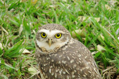 Owl portrait on green grass Royalty Free Stock Photography
