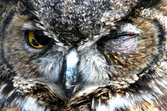 Owl portrait outdoors. Owl portrait staring and looking alone outdoors Stock Photo