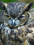 Owl portrait outdoors. Owl portrait staring and looking alone outdoors Royalty Free Stock Photo