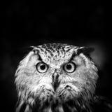 Owl Portrait. Owl on black background Stock Photography