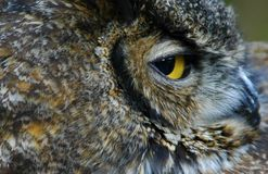 Owl portrait outdoors. Owl portrait staring and looking alone outdoors Royalty Free Stock Images