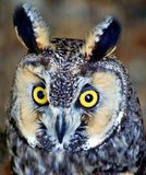 Owl Portrait in Sun Royalty Free Stock Photography