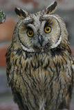 Owl. Portrait of owl. Symbol of knowledge and wisdom Stock Image