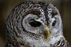 Owl Portrait. Portrait of an Owl - Up close Royalty Free Stock Photo