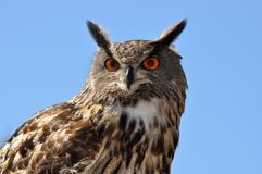 Owl portret shot close up. royalty free stock photos