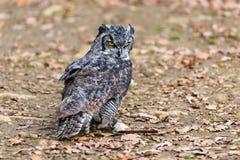Owl Posing Lizenzfreies Stockbild