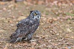 Owl Posing Stockbild