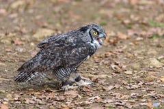 Owl Posing Stockbilder