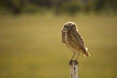 Owl Posing Imagen de archivo libre de regalías