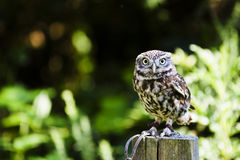 Owl on Post Royalty Free Stock Photography