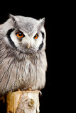 Owl on a post Stock Photography