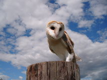 Owl on Post Stock Images