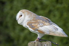 Owl on a post. An owl standing on a post Stock Photo