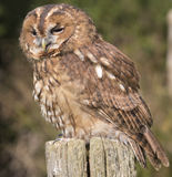 An owl on a post. An owl standing on a post Royalty Free Stock Photo