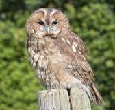 An owl on a post. An owl standing on a post Stock Photos
