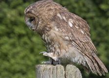 An owl on a post. An owl standing on a post Royalty Free Stock Images