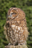 An owl on a post. An owl standing on a post, almost asleep Royalty Free Stock Photography