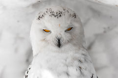 Owl with power Orange Eyes. An owl in a small ice cave in Winter, with powerful Oranges eyes and white and black feathers royalty free stock images