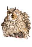 Owl with pray. Owl isolated on the white background Stock Image