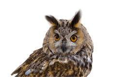 Owl, predator, isoletated. Royalty Free Stock Images
